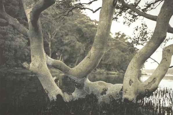 Mangrove Tree - Summer © Joshua Yeldham  2012